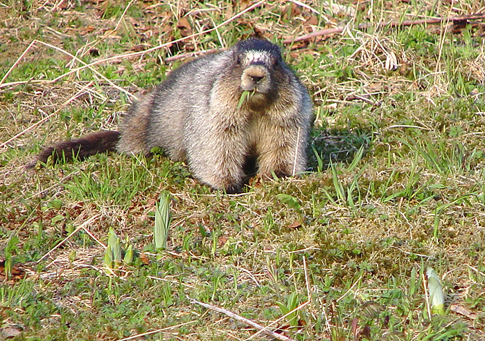 Hoary Marmot on Mt. Roberts.