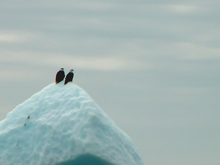 Iceberg With Two Bald Eagles.