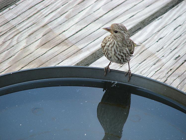 Pine Siskin at the Bird Bath.