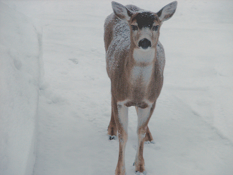 Sitka Black-tailed Deer.