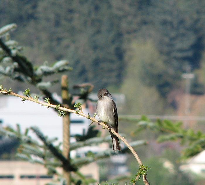 Flycatcher at the top of a Western Hemlock.