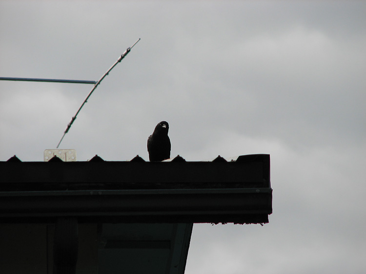 Silhouette of a Northwestern Crow on a Roof.