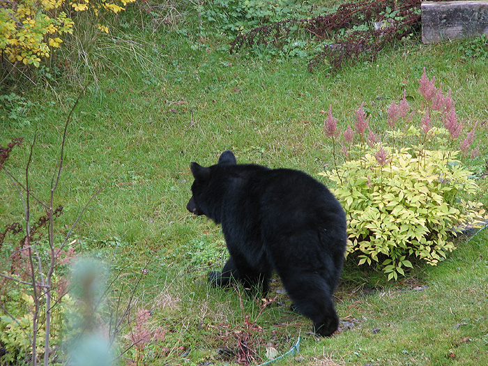 a black bear in a backyard the west juneau weekly picture
