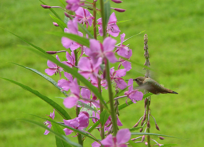 Rufous Hummingbird and Fireweed.