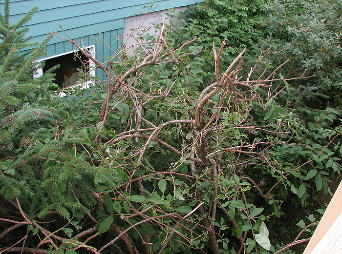 A Pacific Red Elder Shrub Mangled by a Porcupine.