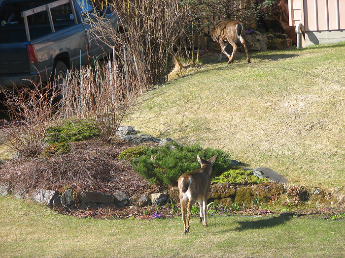 Two Sitka Black-Tailed Deer in West Juneau - Part 3.