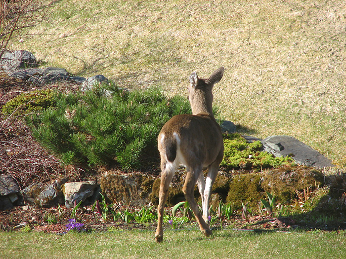 Two Sitka Black-Tailed Deer in West Juneau - Part 4.