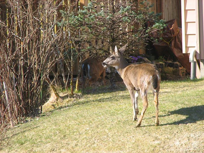Two Sitka Black-Tailed Deer in West Juneau - Part 5.