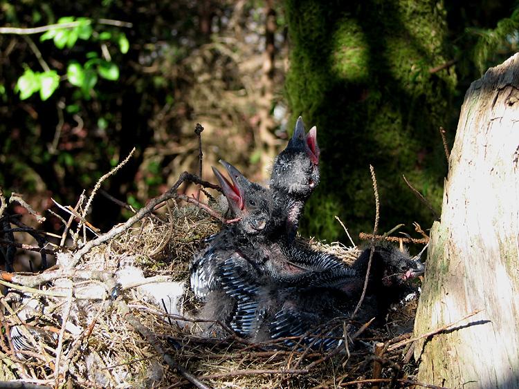 Three Nestling Northwestern Crows.