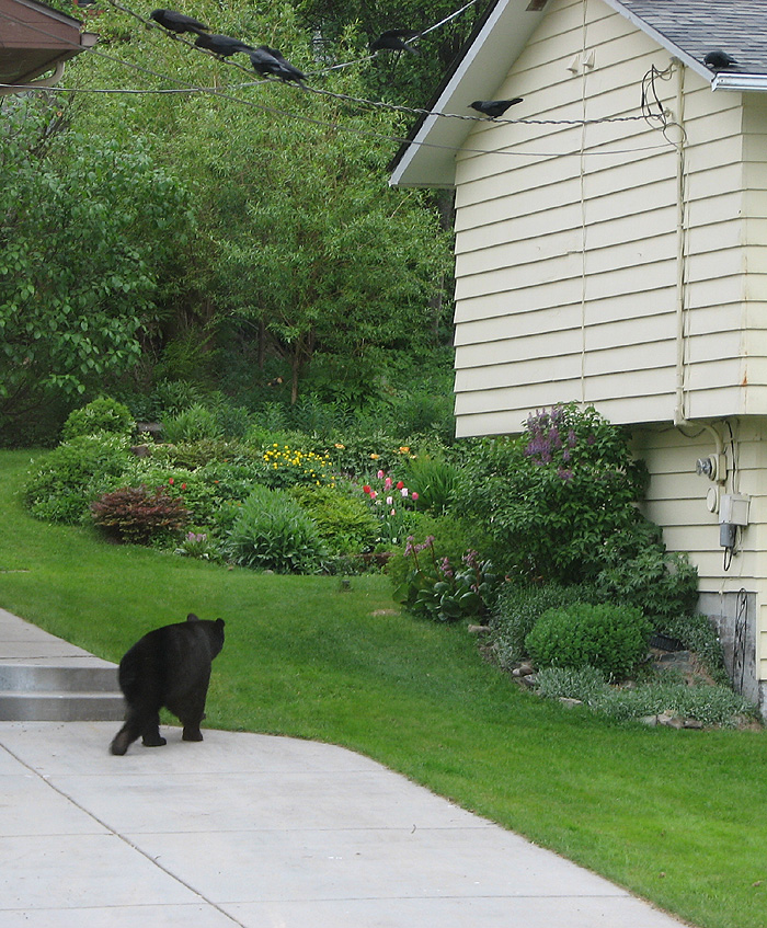 Black Bear and Watching Crows.