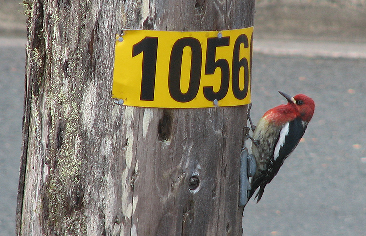 Red-breasted Sapsucker on a Utility Pole.