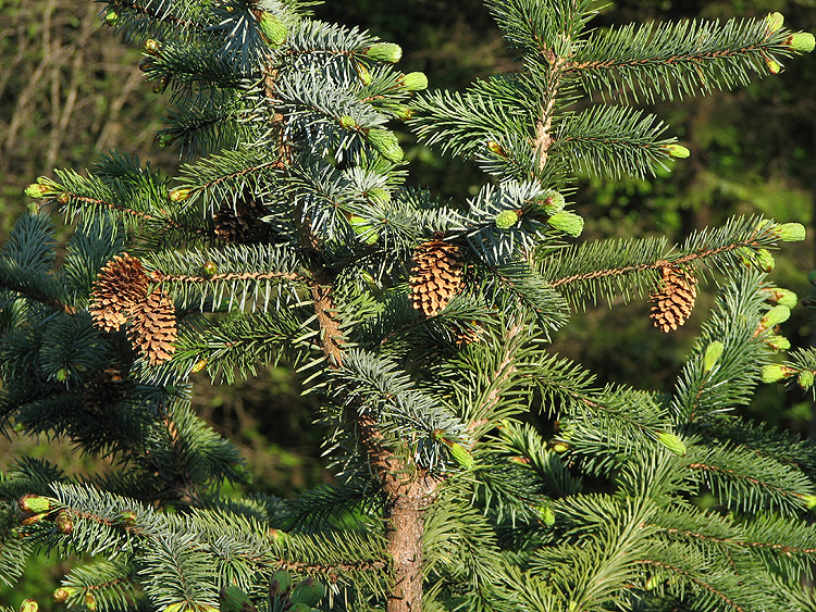 Sitka Spruce: Dried Cones and New Growth.