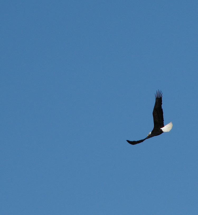 A Soaring Bald Eagle in a Turn.