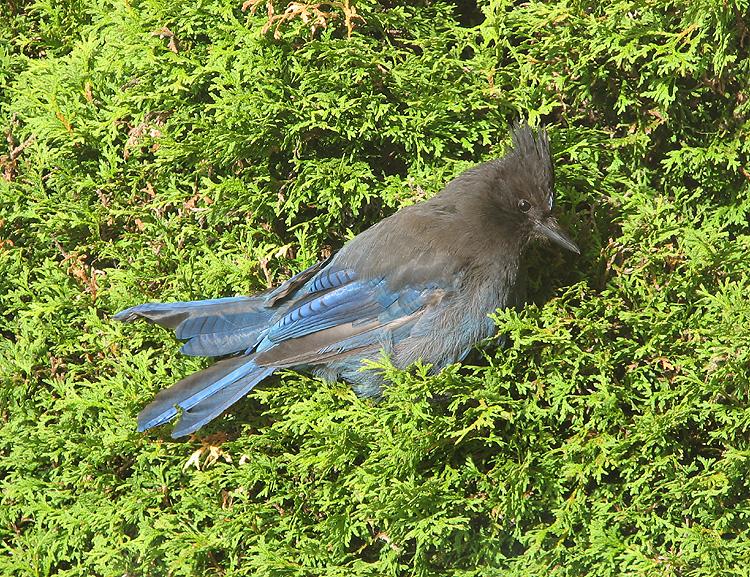 Steller's Jay Resting & Sunning Itself in an Arborvitae.