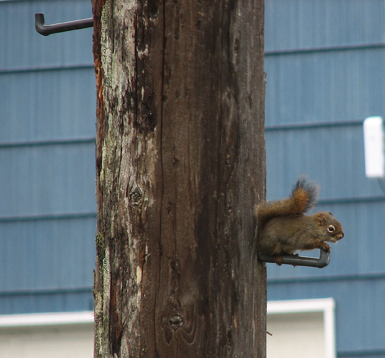 Red Squirrel on a Utility Pole Pole Step.