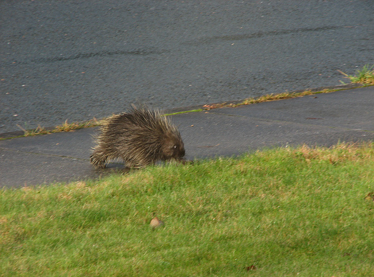 Porcupine on the Move.