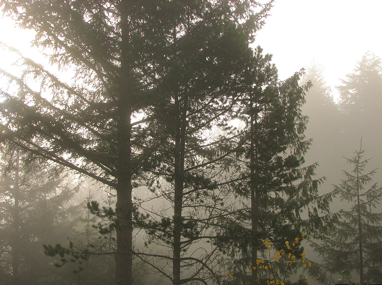Trees and Glowing Fog.