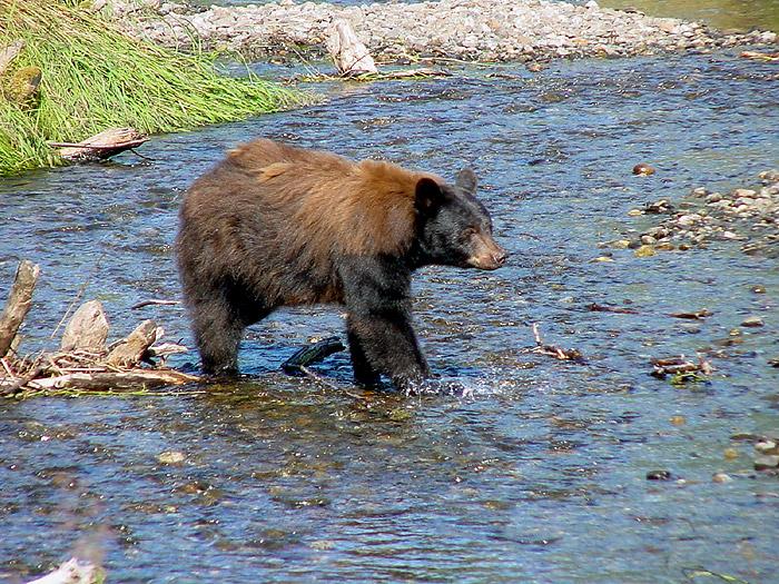 Black Bear Sow at Steep Creek.