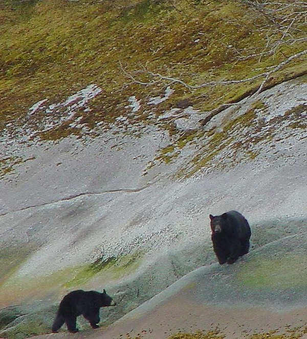 Two Black Bears at Tracy Arm Fjord.