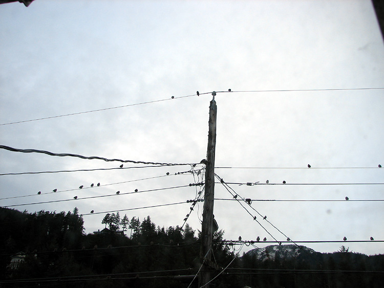 Silhouettes of European Starlings on the Lines.